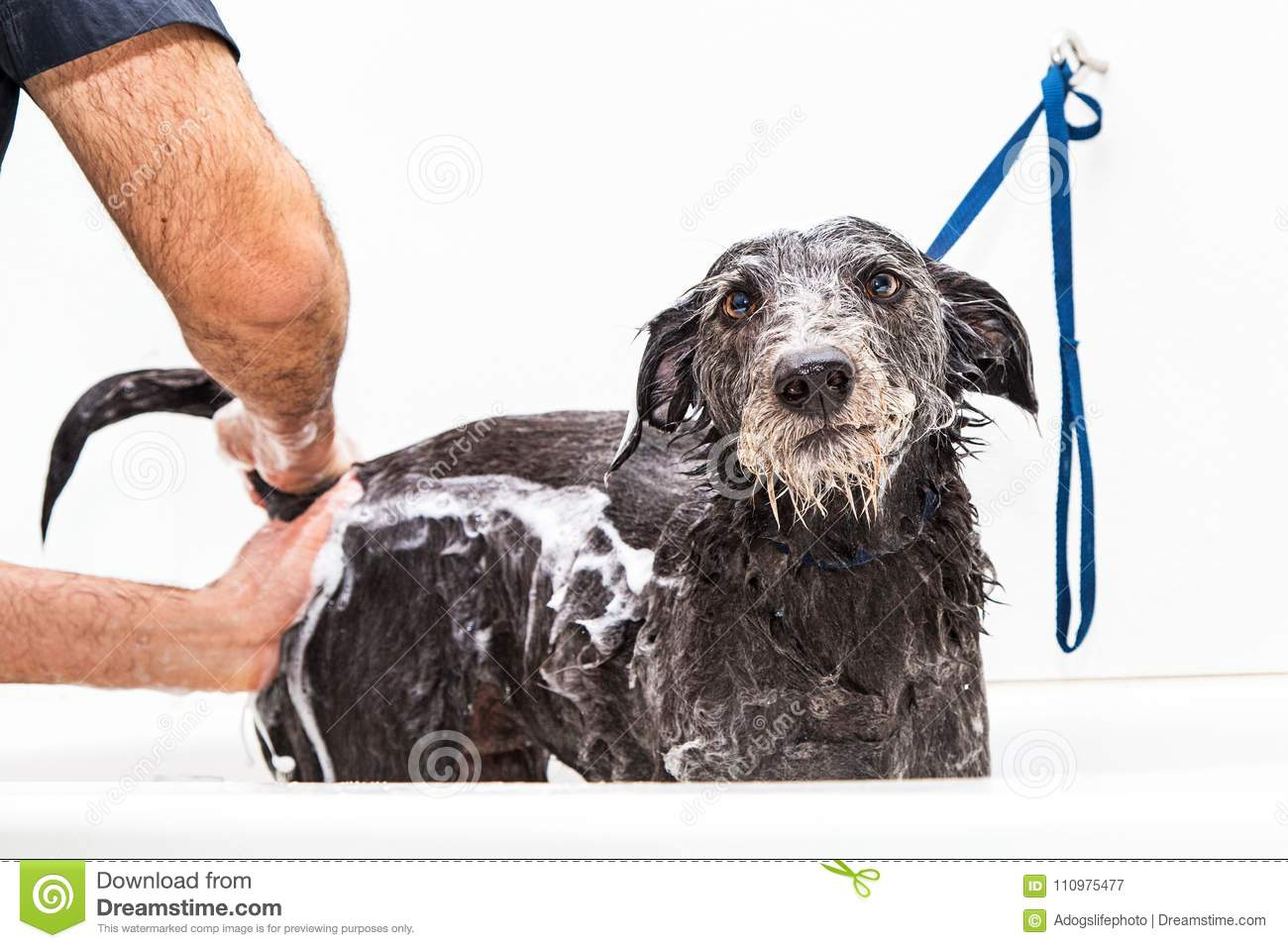 Funny photo of dog with unhappy expression as a groomer expresses her anal  glands