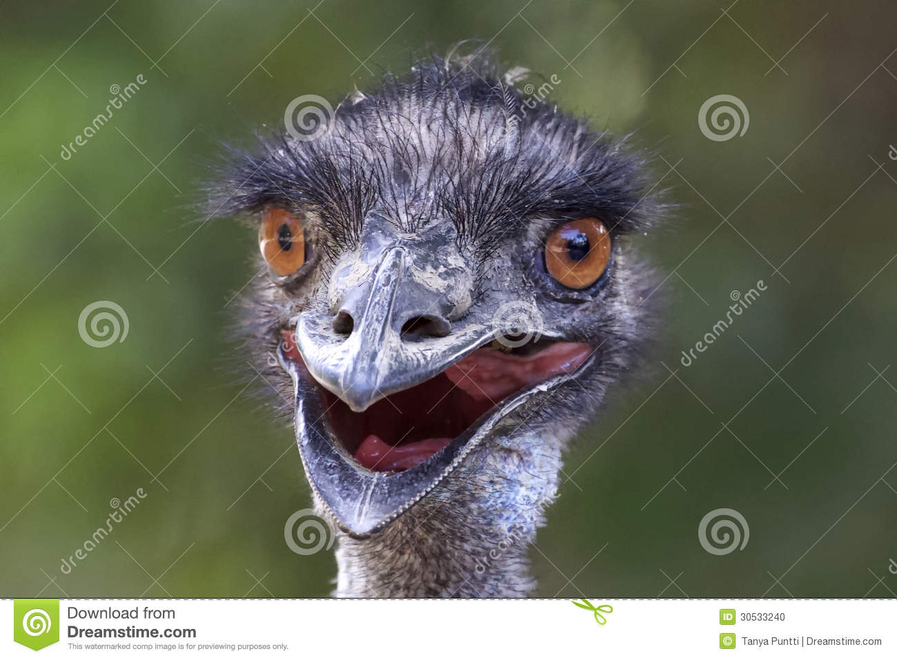 Stock Photo Funny Photo Emu Close Up Australian Smooth Green Backgroun...