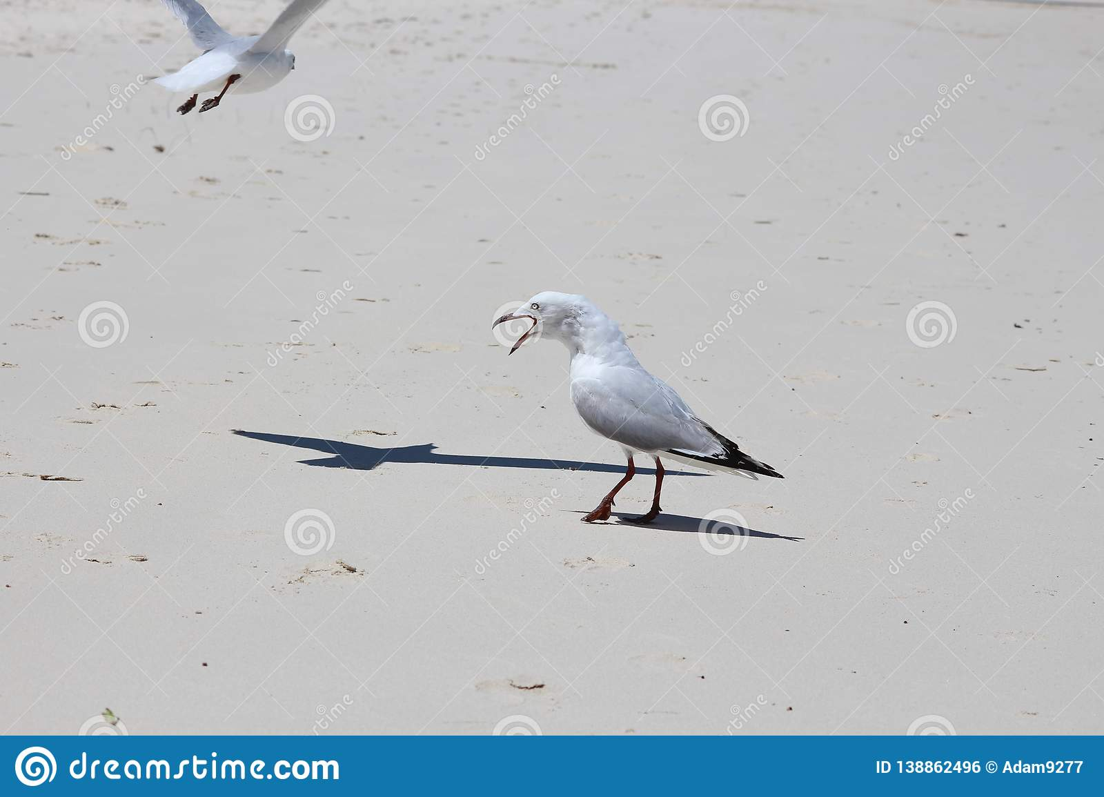Funny seagull with open beak squawking at another seagull
