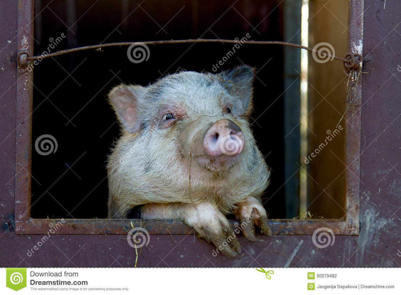 The Funny Pig In The Farm Stock Photo - Image: 50079482