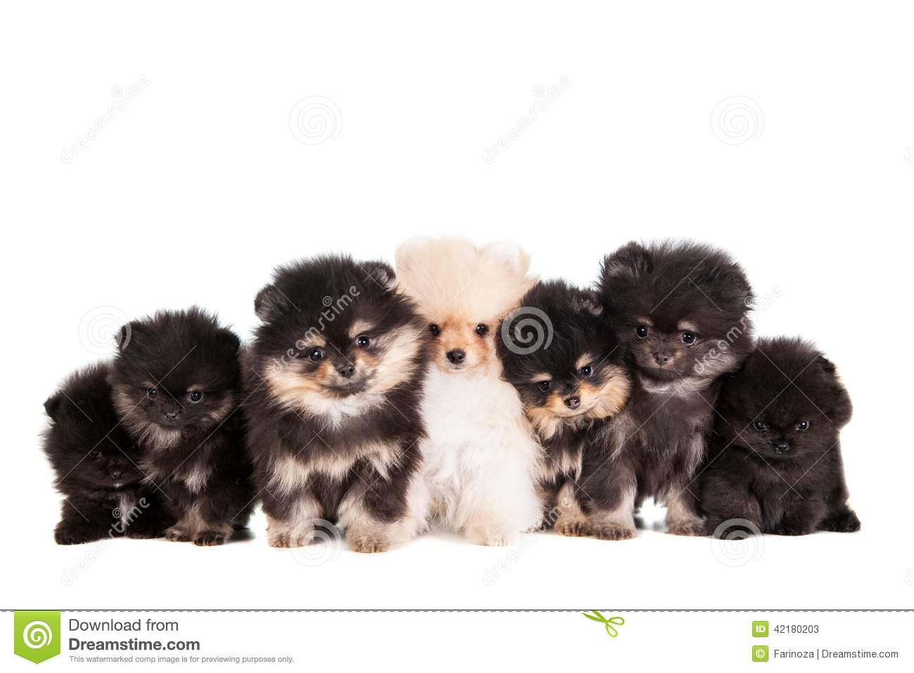 Funny Pomeranian Puppies Group Stock Photo - Image: 42180203