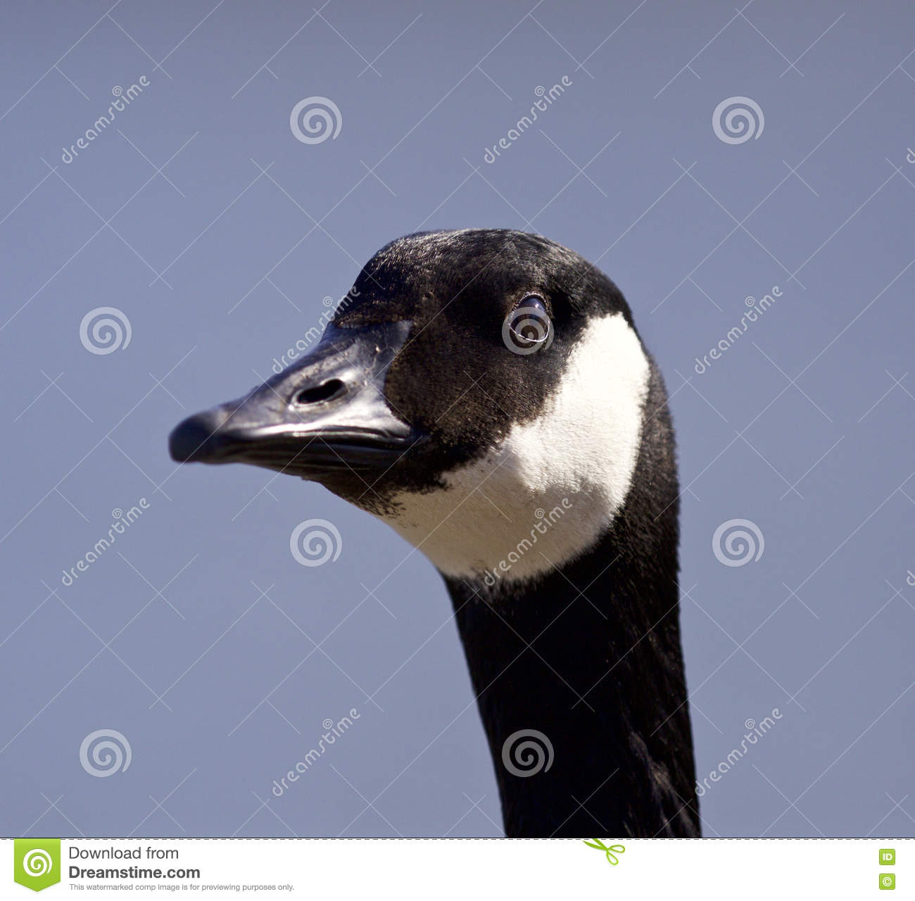 Funny Portrait Of A Cute Canada Goose Stock Image Image Of Symbol