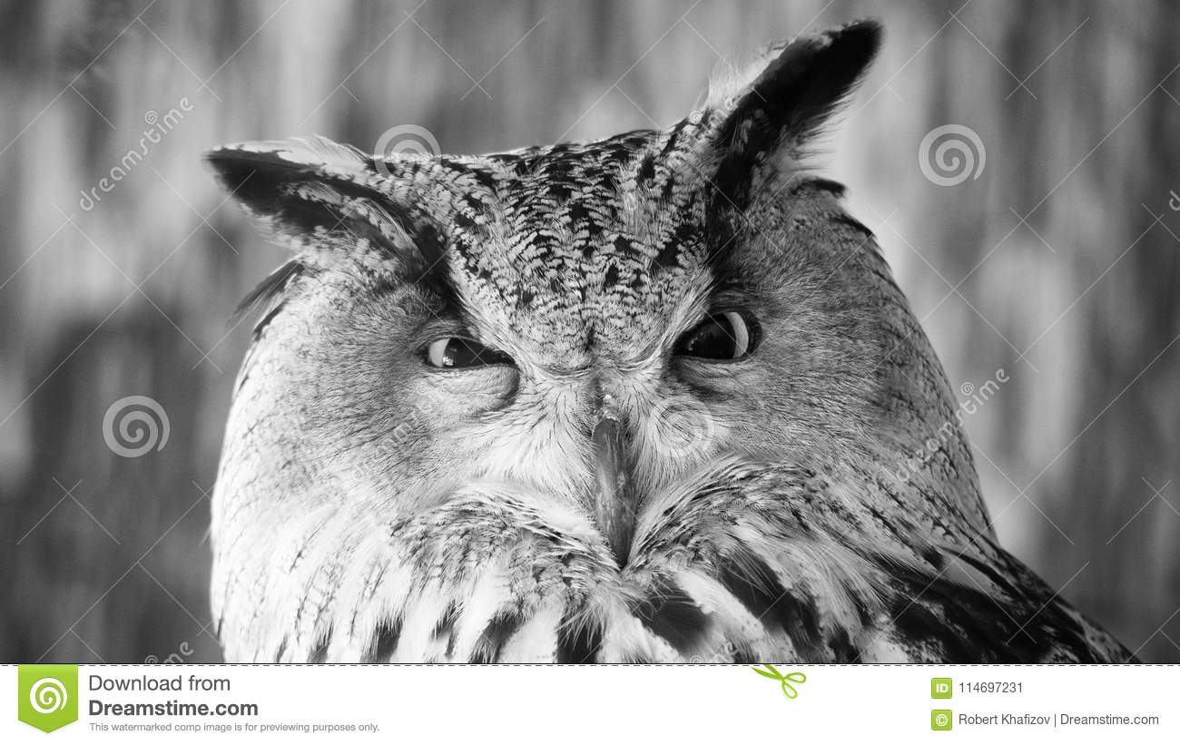 Funny portrait of an owl black and white stock image image of