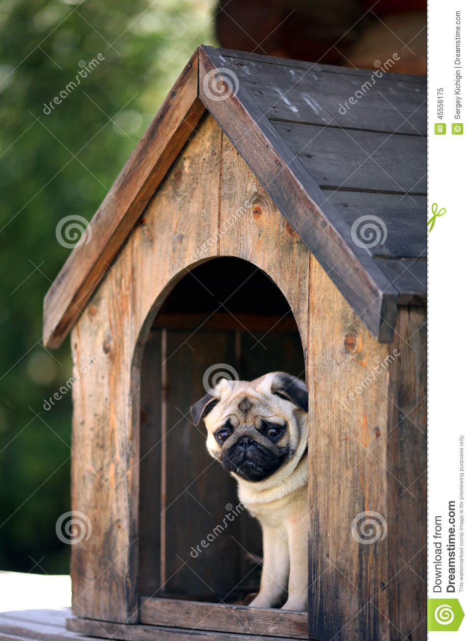 Funny Pug Dog In The Dog House Stock Photo Image 45556175