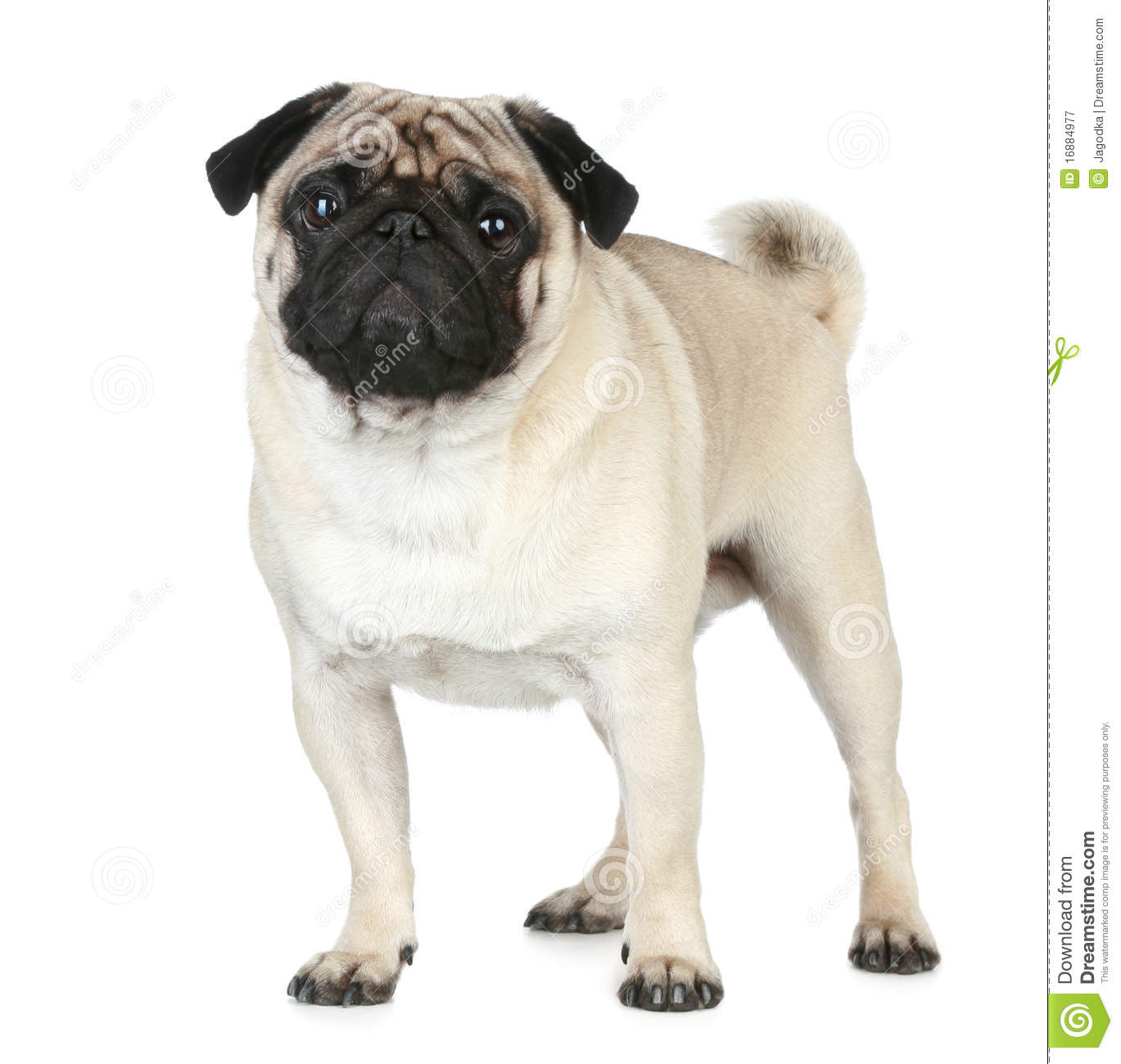 Funny Pug Puppy Stock Image Image Of Vertical Indoors 16884977