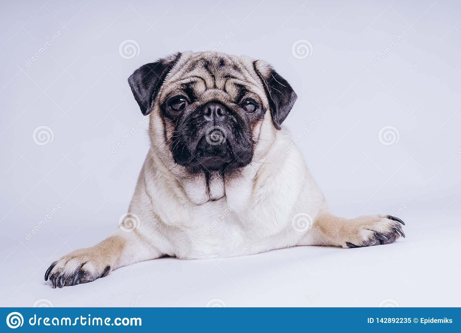 Funny Pug Puppy On White Background Portrait Of A Cute Pug Dog With Big Sad Eyes And A Questioning Look On A White Background Stock Image Image Of Space Standing 142892235