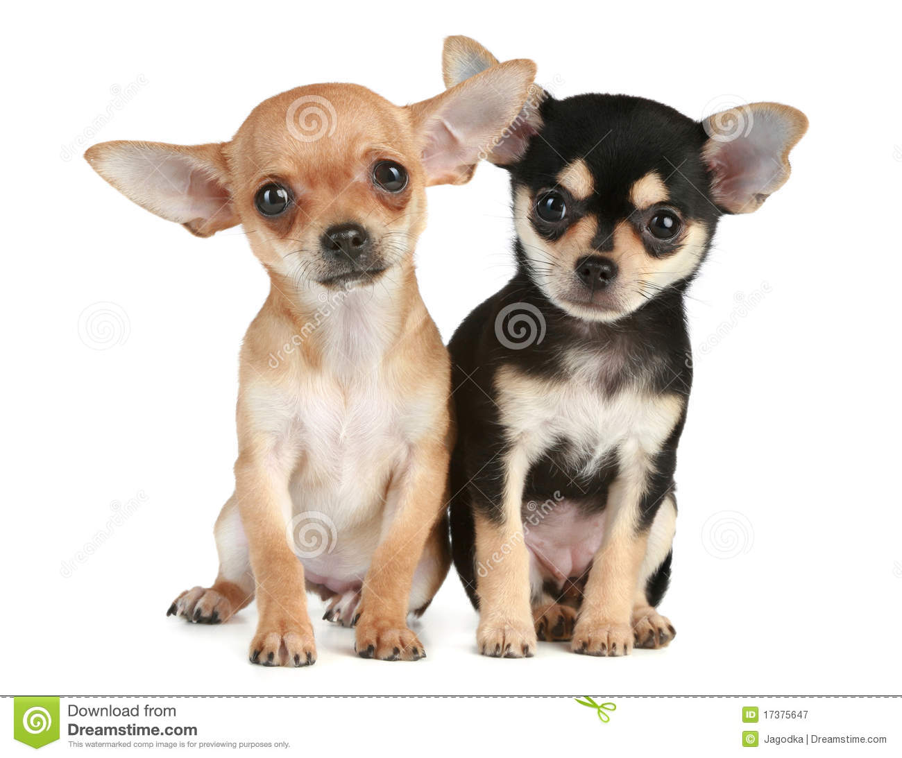 funny puppies chihuahua 2 months royalty free stock