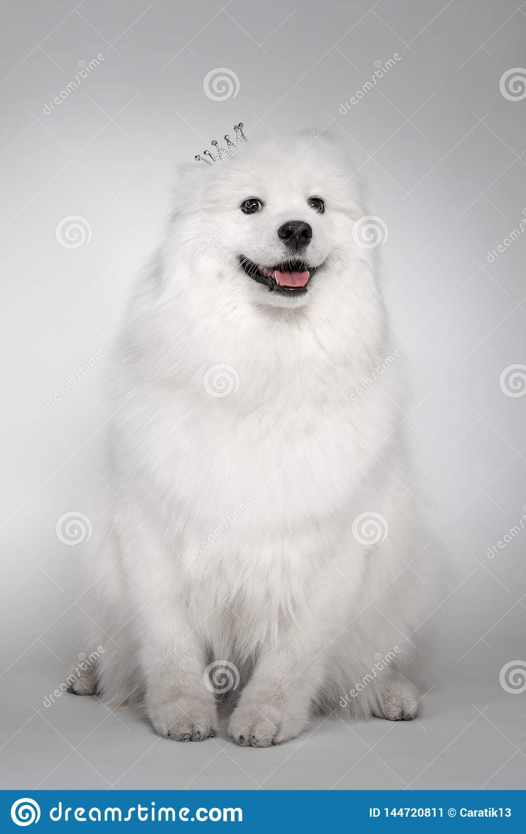Portrait Of Funny Puppy Of Samoyed Dog At Studio On White Background Cutest Puppy Looking Smiling Stock Image Image Of Background Hair 144720811