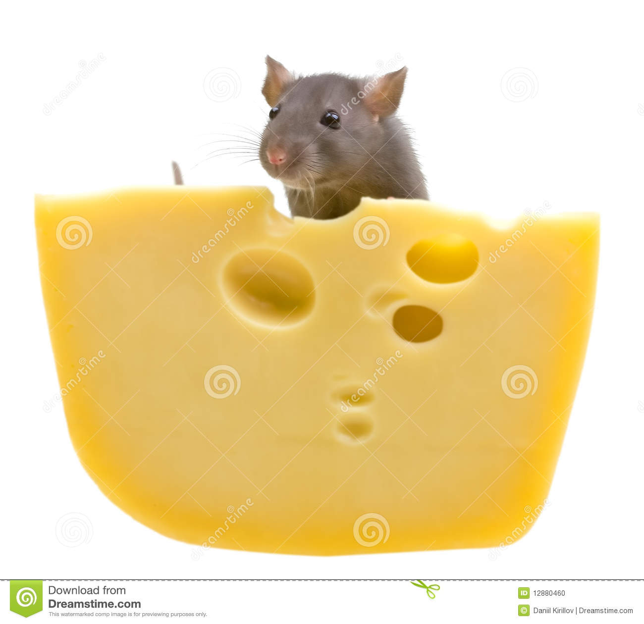 funny rat and cheese isolated on white stock photo image hamster clip art outline hamster clip art free