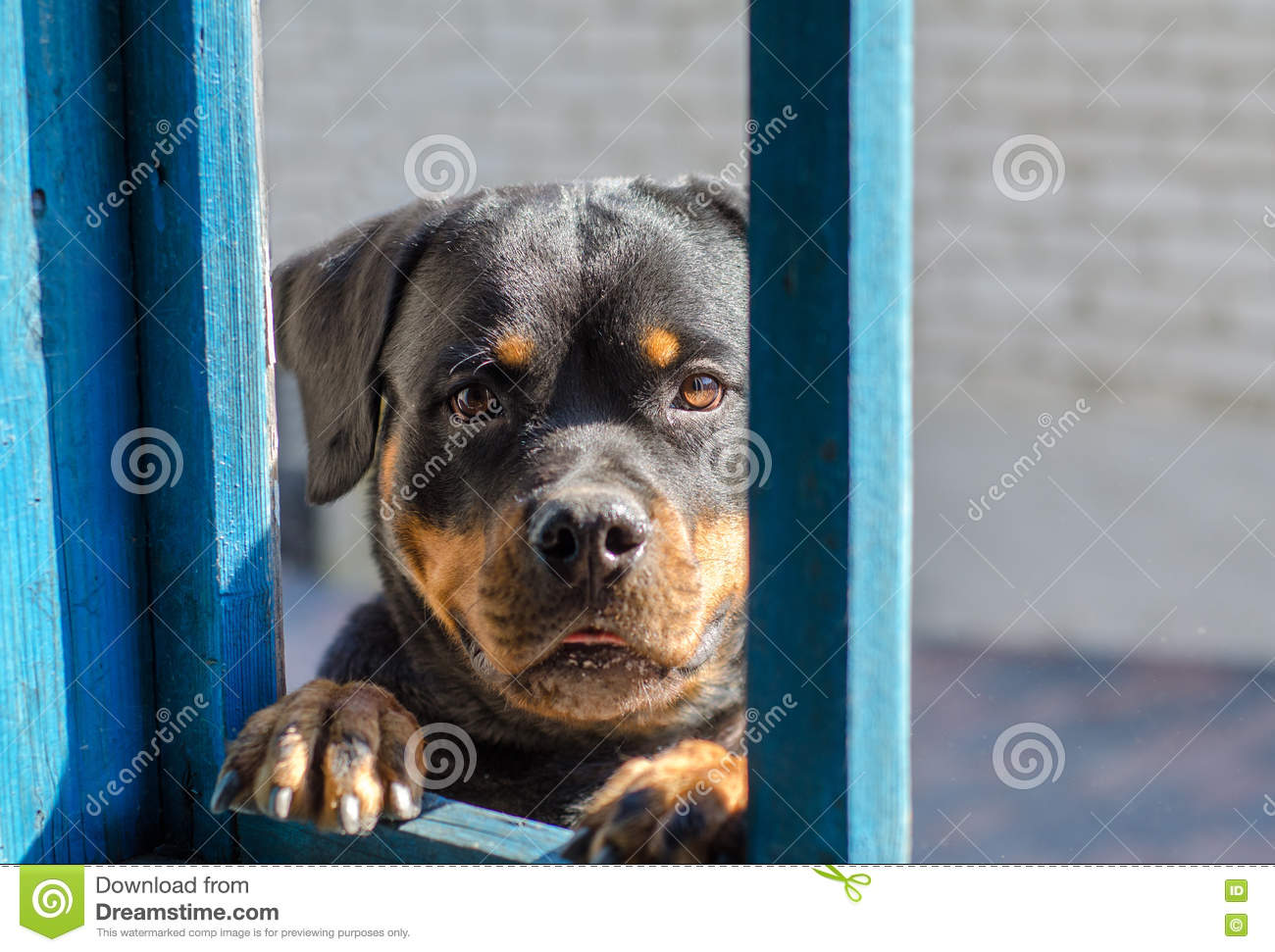 Funny rottweiler dog looks into window dog portrait