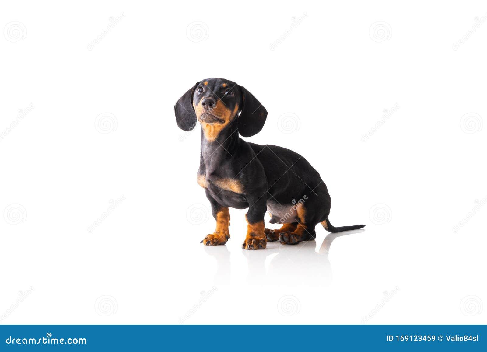 Funny Sausage Dog Dachshund Puppy Posing Isolated On White Background Stock Image Image Of Canine Pedigree 169123459