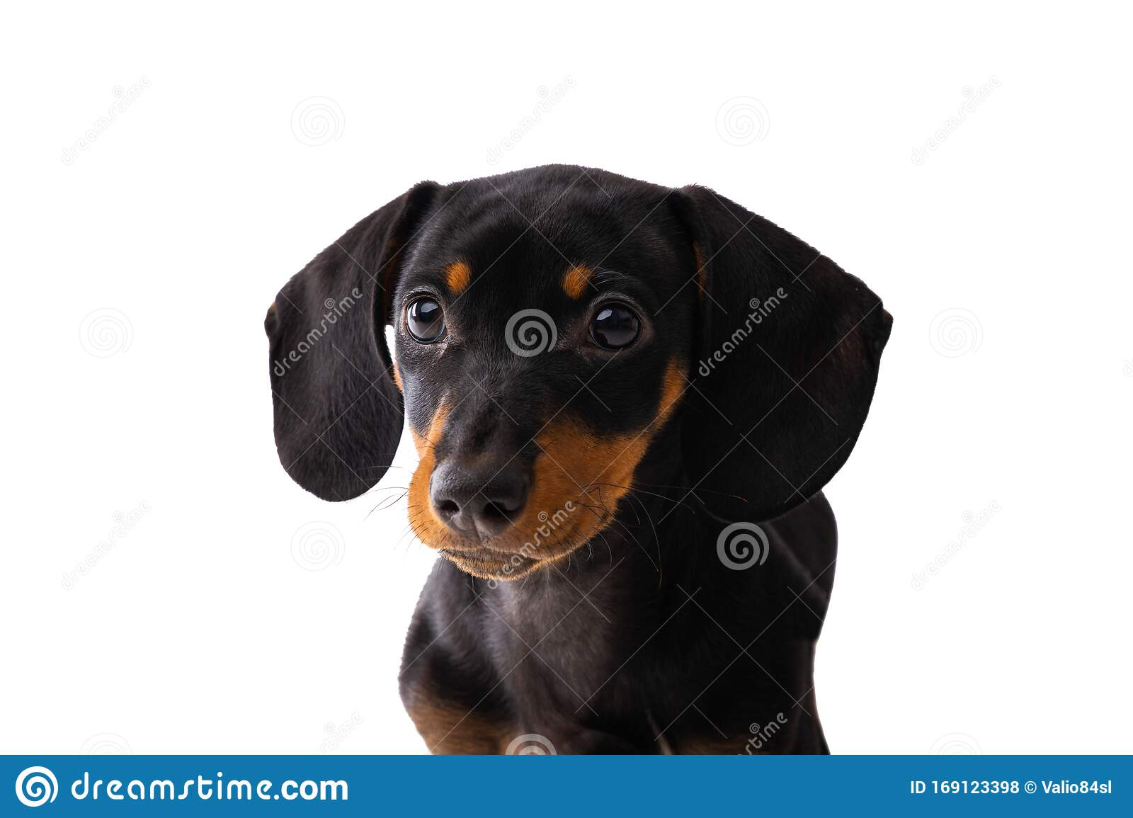 Funny Sausage Dog Dachshund Puppy Posing Isolated On White Background Stock Photo Image Of Background Puppy 169123398