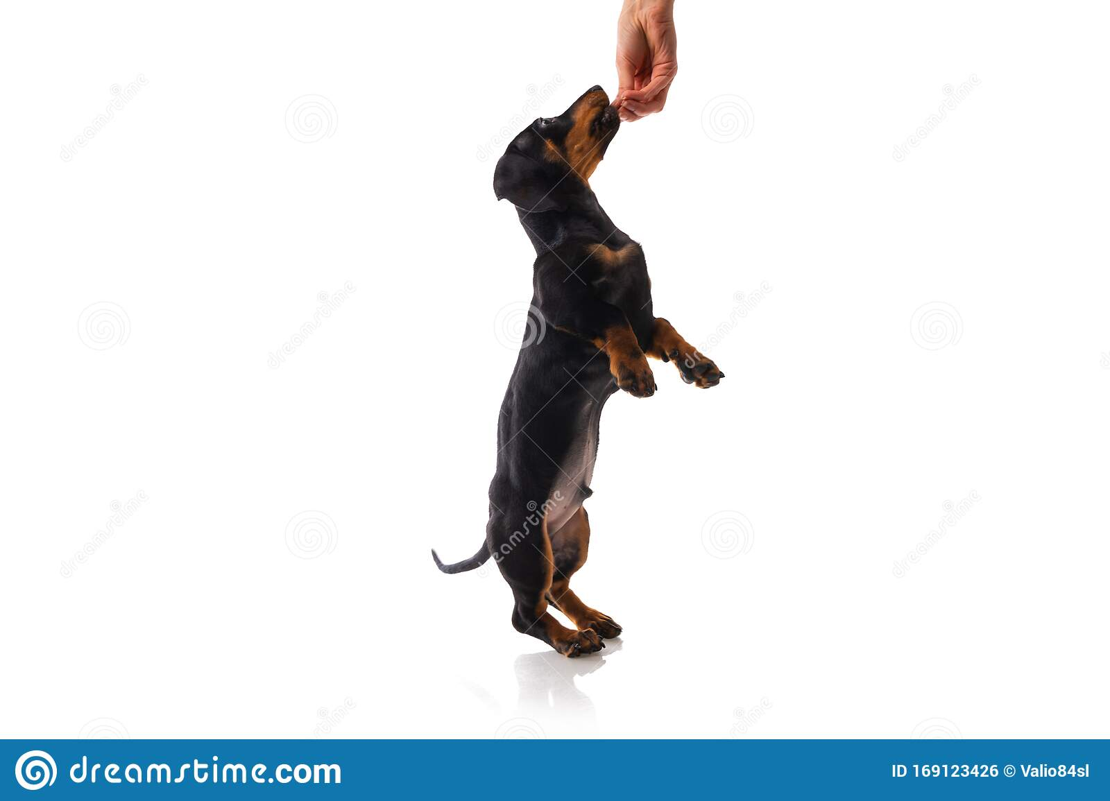 Funny Sausage Dog Dachshund Puppy Posing Isolated On White Background Stock Photo Image Of Adorable Cute 169123426