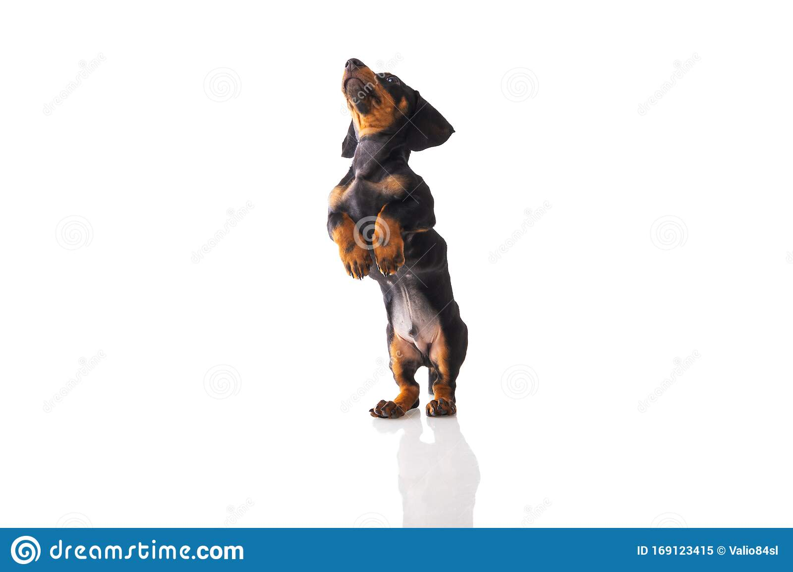 Funny Sausage Dog Dachshund Puppy Posing On White Background Stock Image Image Of Brown Grill 169123415