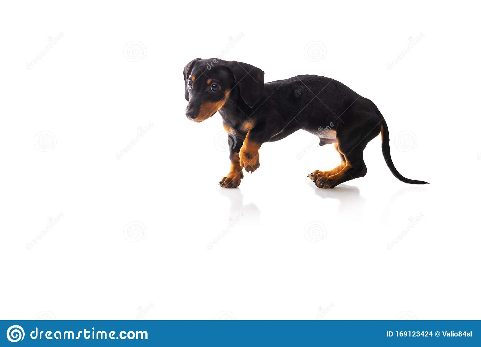 Funny Sausage Dog Dachshund Puppy Posing On White Background Stock Photo Image Of Background Looking 169123424