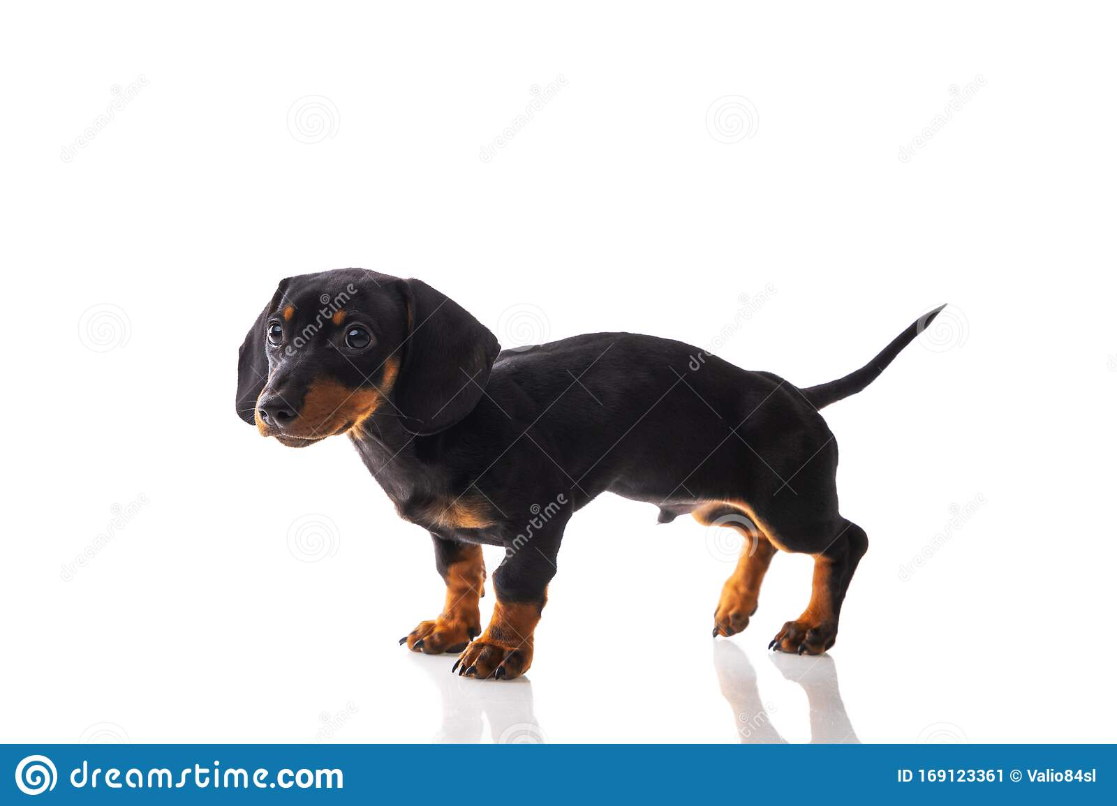 Funny Sausage Dog Dachshund Puppy Posing On White Background Stock Image Image Of Portrait Looking 169123361