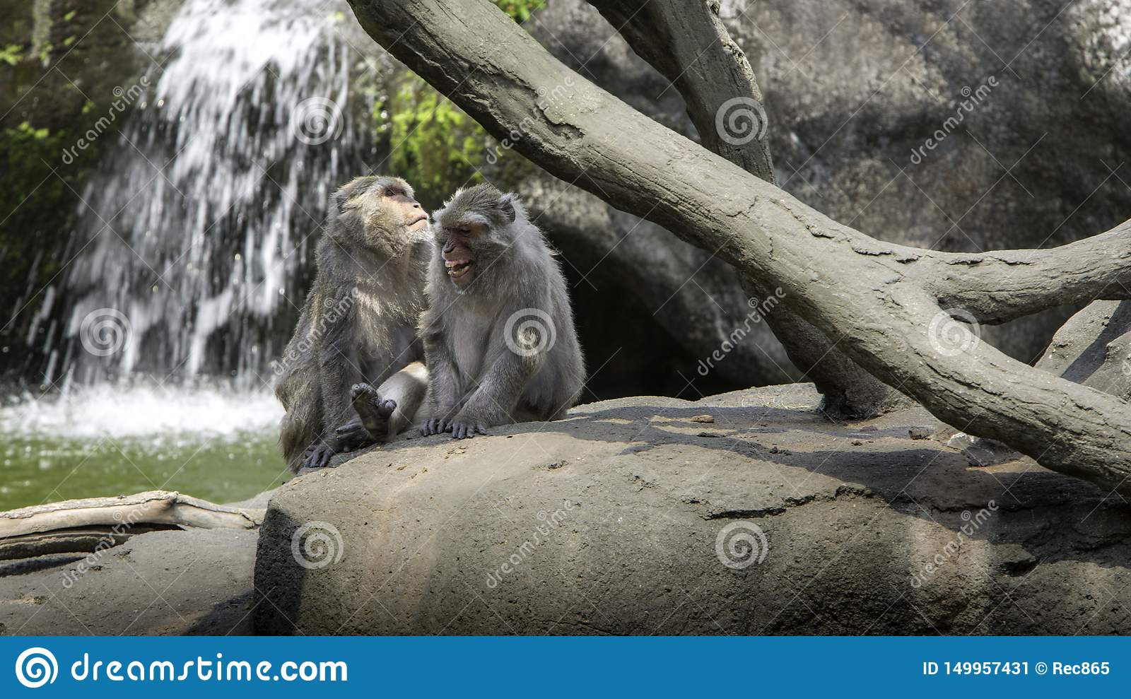 A funny scene of laughing monkeys. Two adults Formosan rock macaques