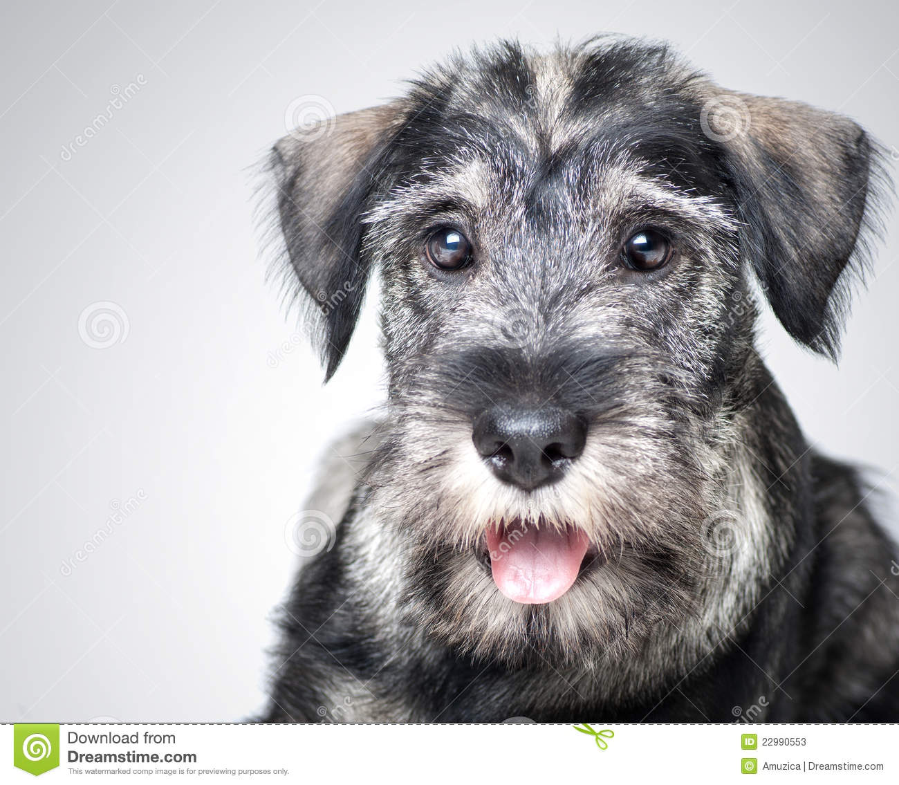 Funny Schnauzer Puppy Stock Image Image Of People Months