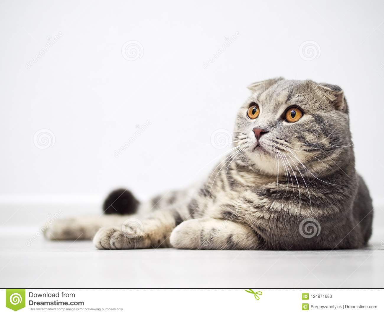 Funny serious scottish fold cat with bright yellow eyes lies on floor