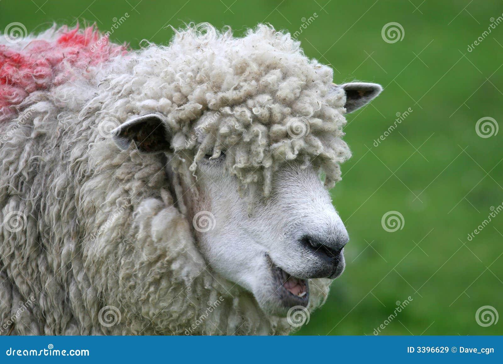 Funny Black Sheep Meme : Funny dog memes