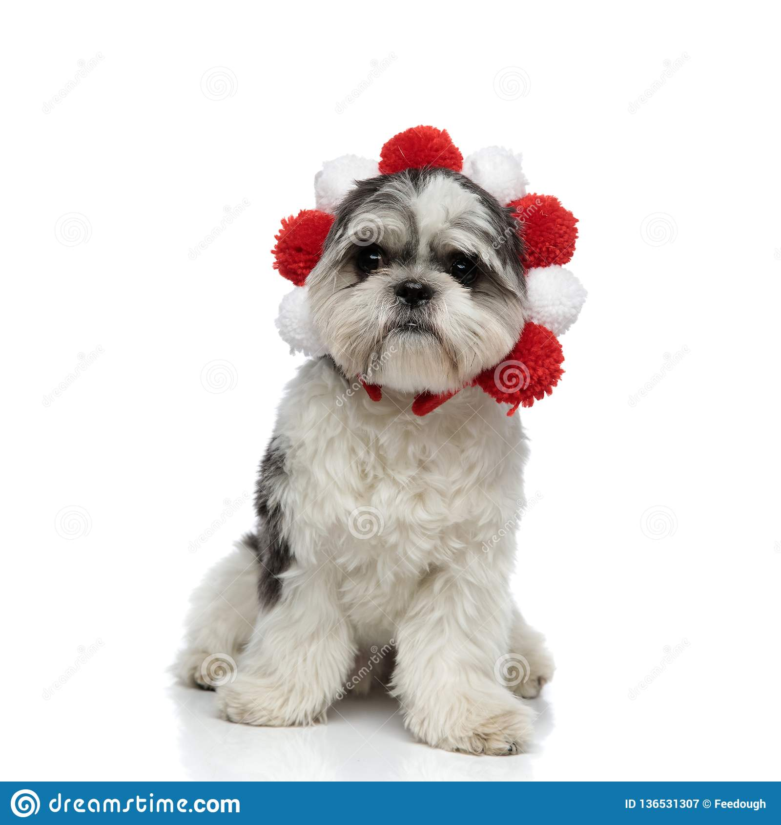 Funny Shih Tzu Wearing Red And White Crown Sitting Stock Image Image Of Seated Crown 136531307