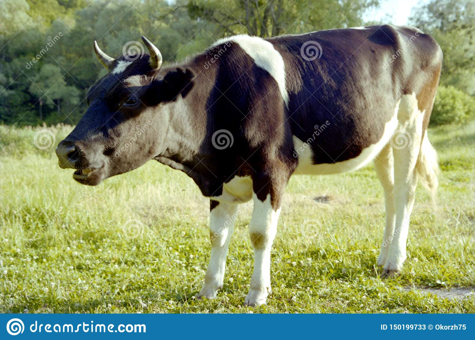 Funny single cow grazing on green summer meadow