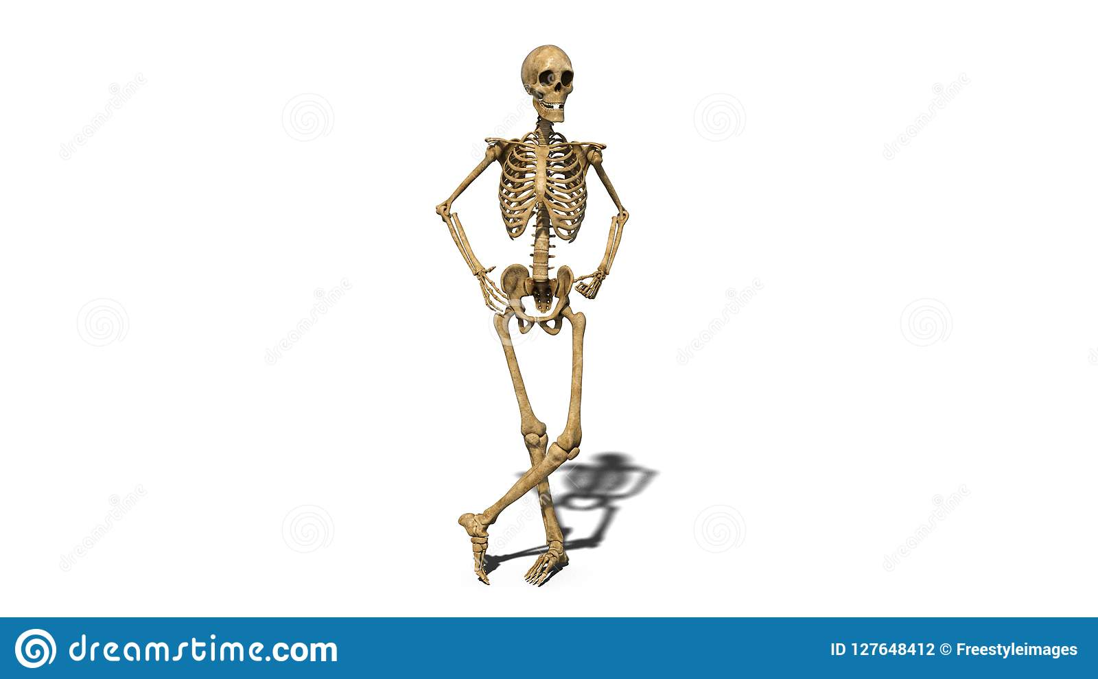 Funny Skeleton Standing And Smiling, Human Skeleton Isolated