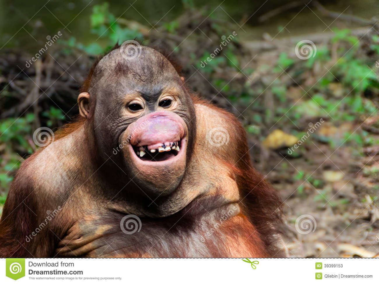 Funny Smile Orangutan Monkey Portrait Stock Photo - Image: 39399153