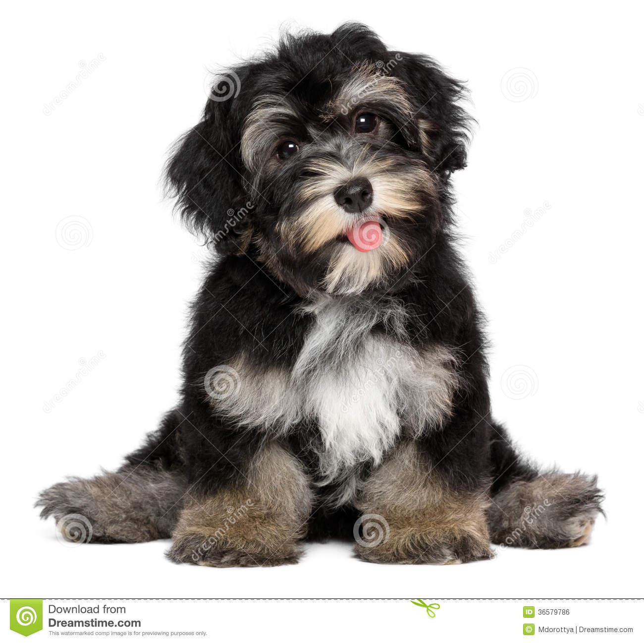 Funny Smiling Black And Tan Havanese Puppy Dog Royalty ...