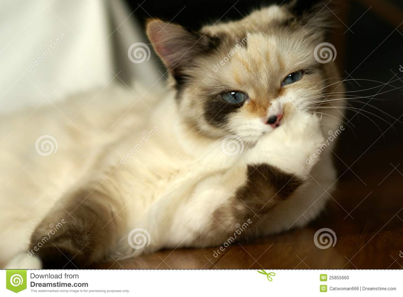 Funny Snowshoe Ragdoll Mix Kitten Stock Photo Image Of Baby Katze