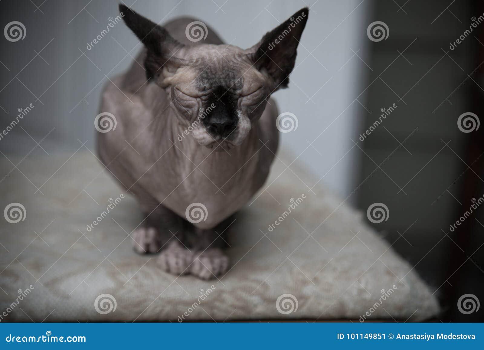 Funny sphinx cat portrait indoors medium shot shallow depth of field
