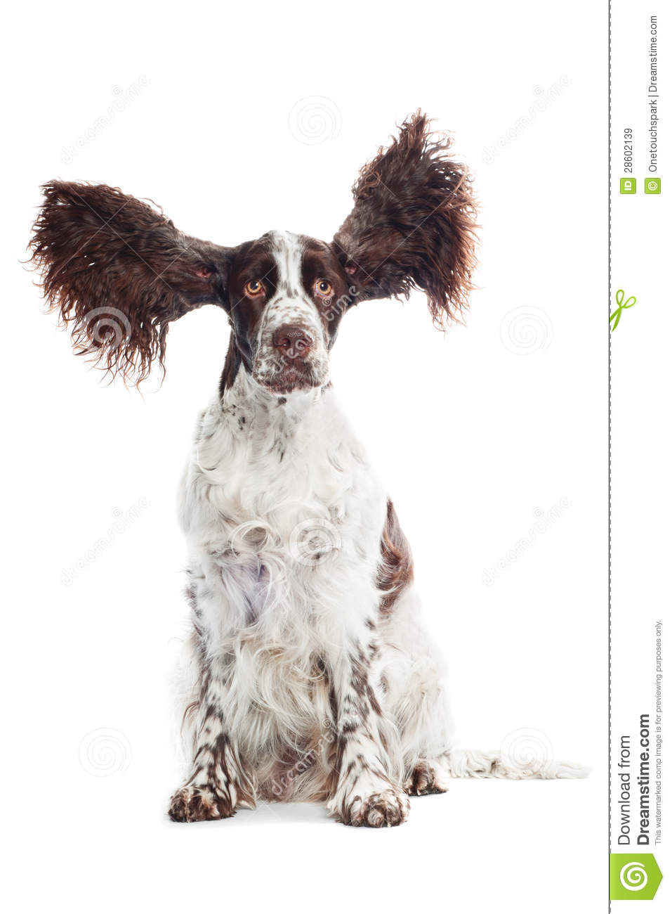 funny springer spaniel dog with ears in the air royalty