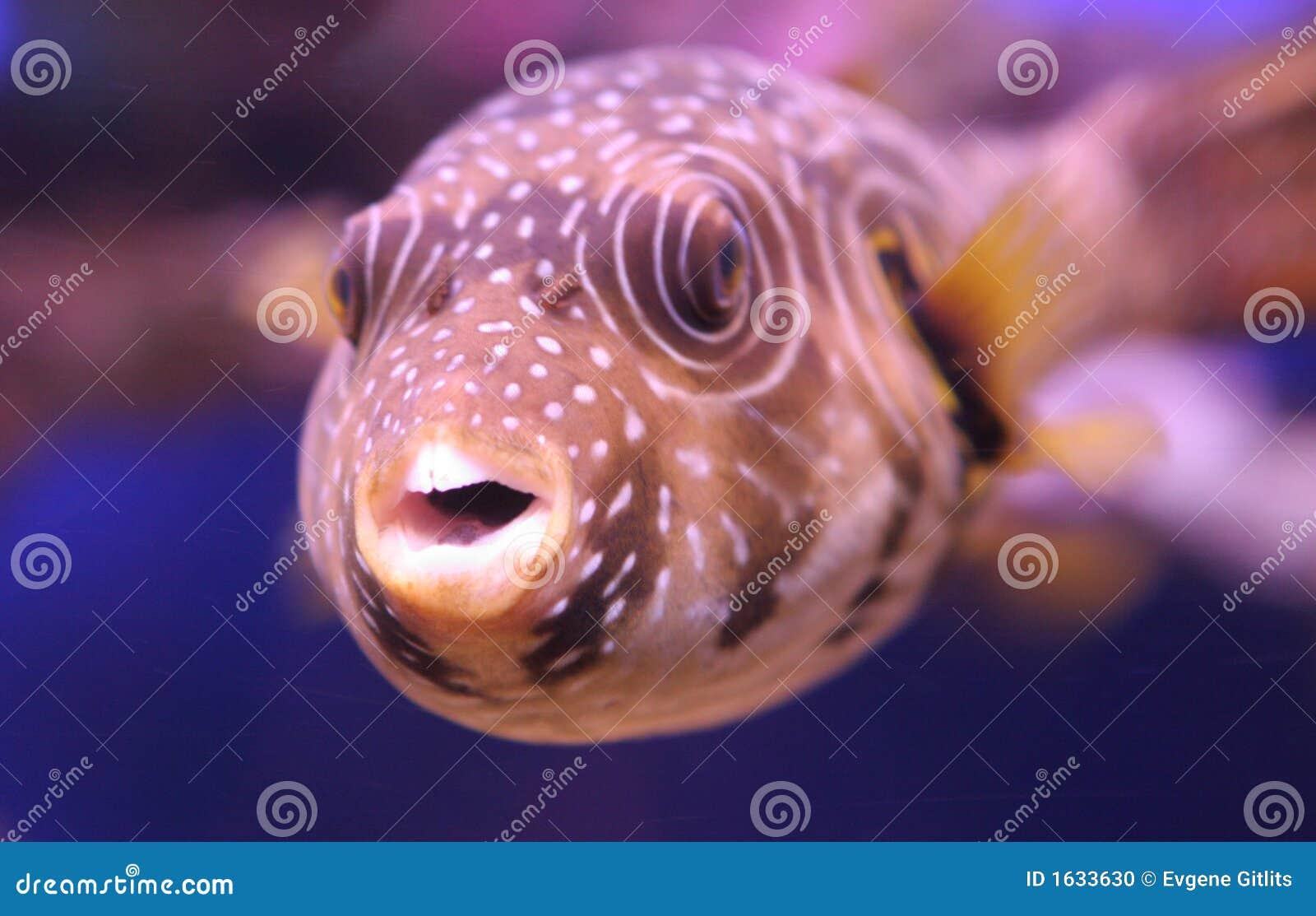 Ugly freshwater aquarium fish - Funny Tropical Fish 2 Stock Photo