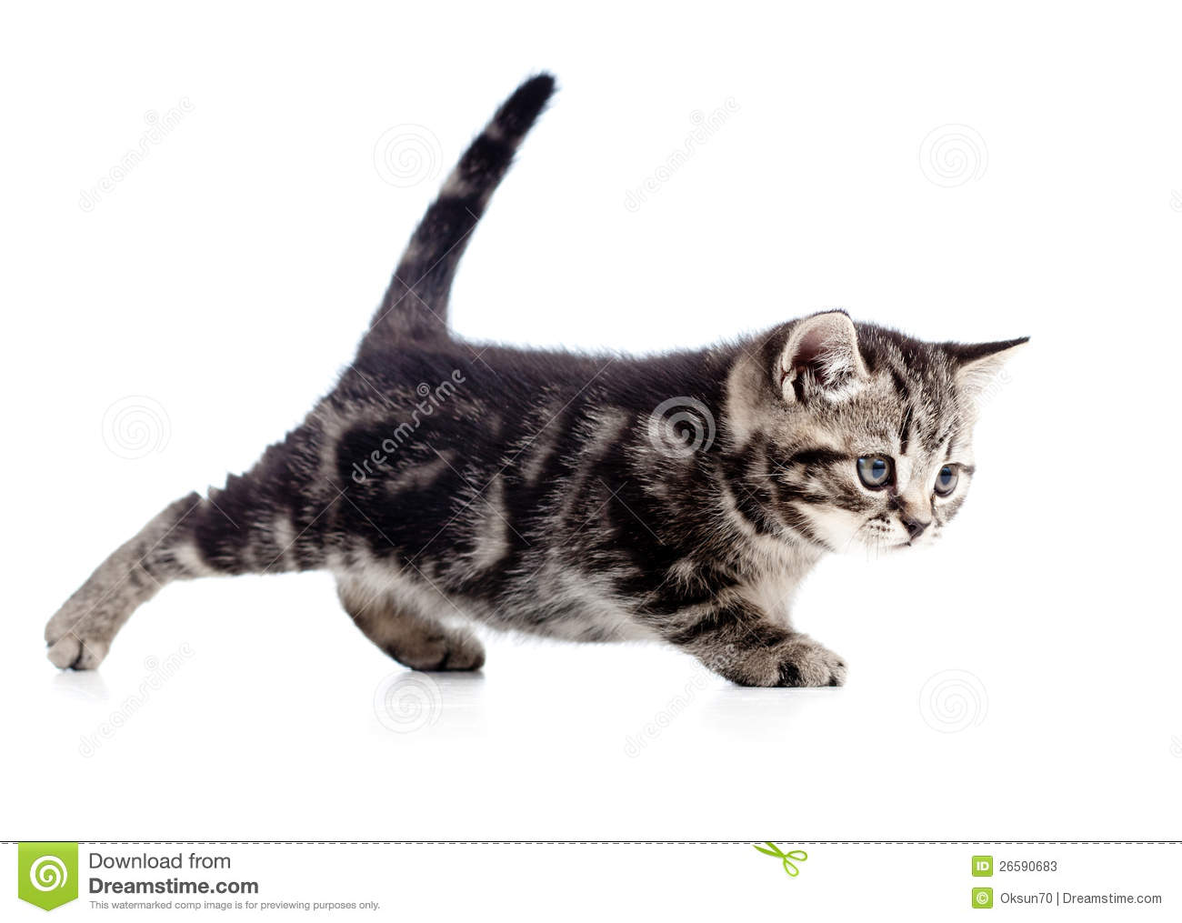 domestic cats that look wild