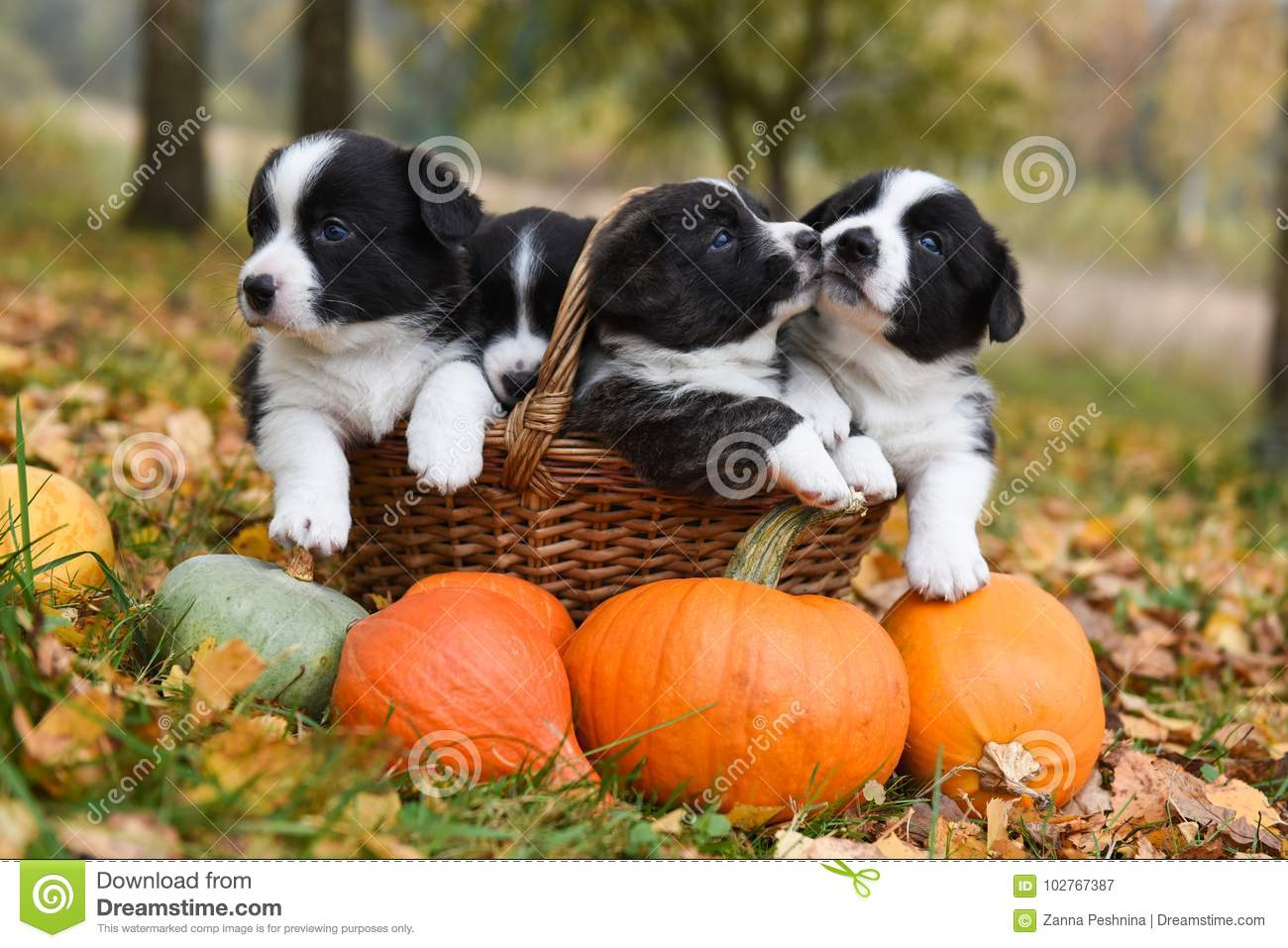 Corgi Puppies Dogs With A Pumpkin On An Autumn Background Stock