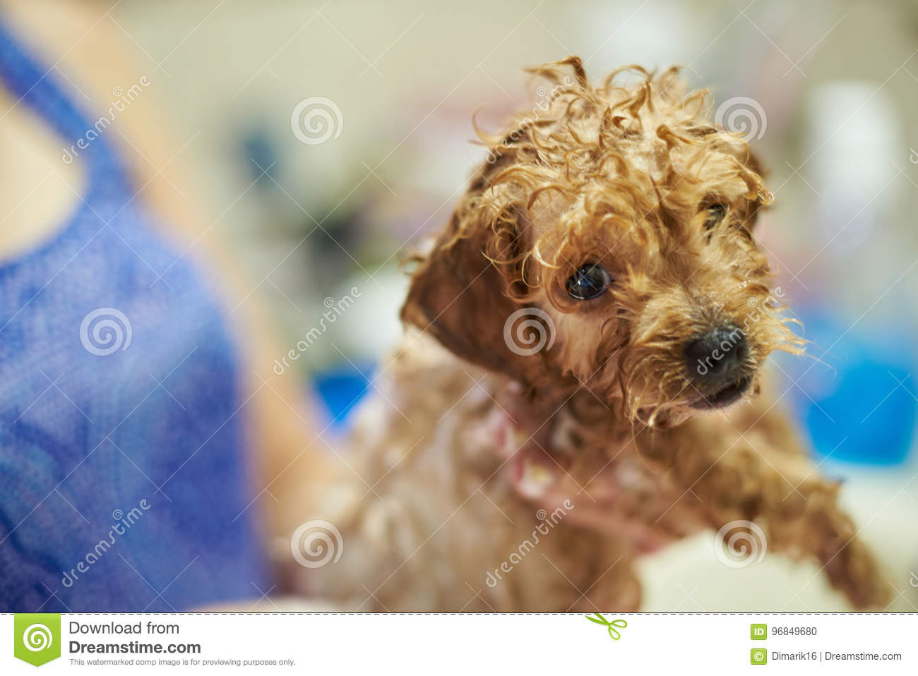 Funny Wet Poodle Puppy Dog Stock Photo Image Of Fluffy 96849680