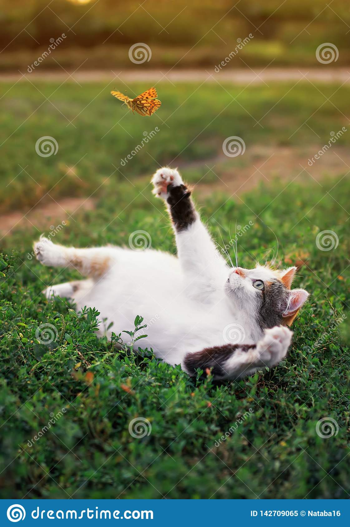 Funny white fat cat lies on a summer sunny meadow and catches a flying orange butterfly with its paw on a clear warm evening