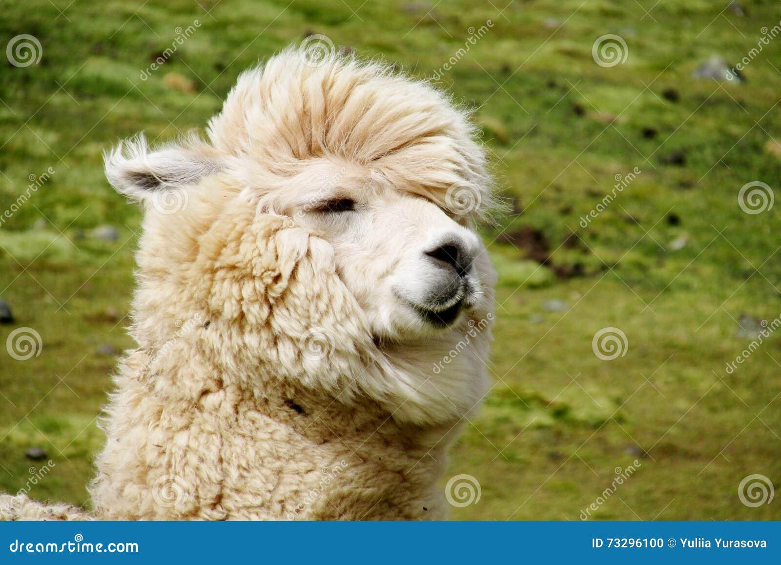 Funny White Lama Portrait