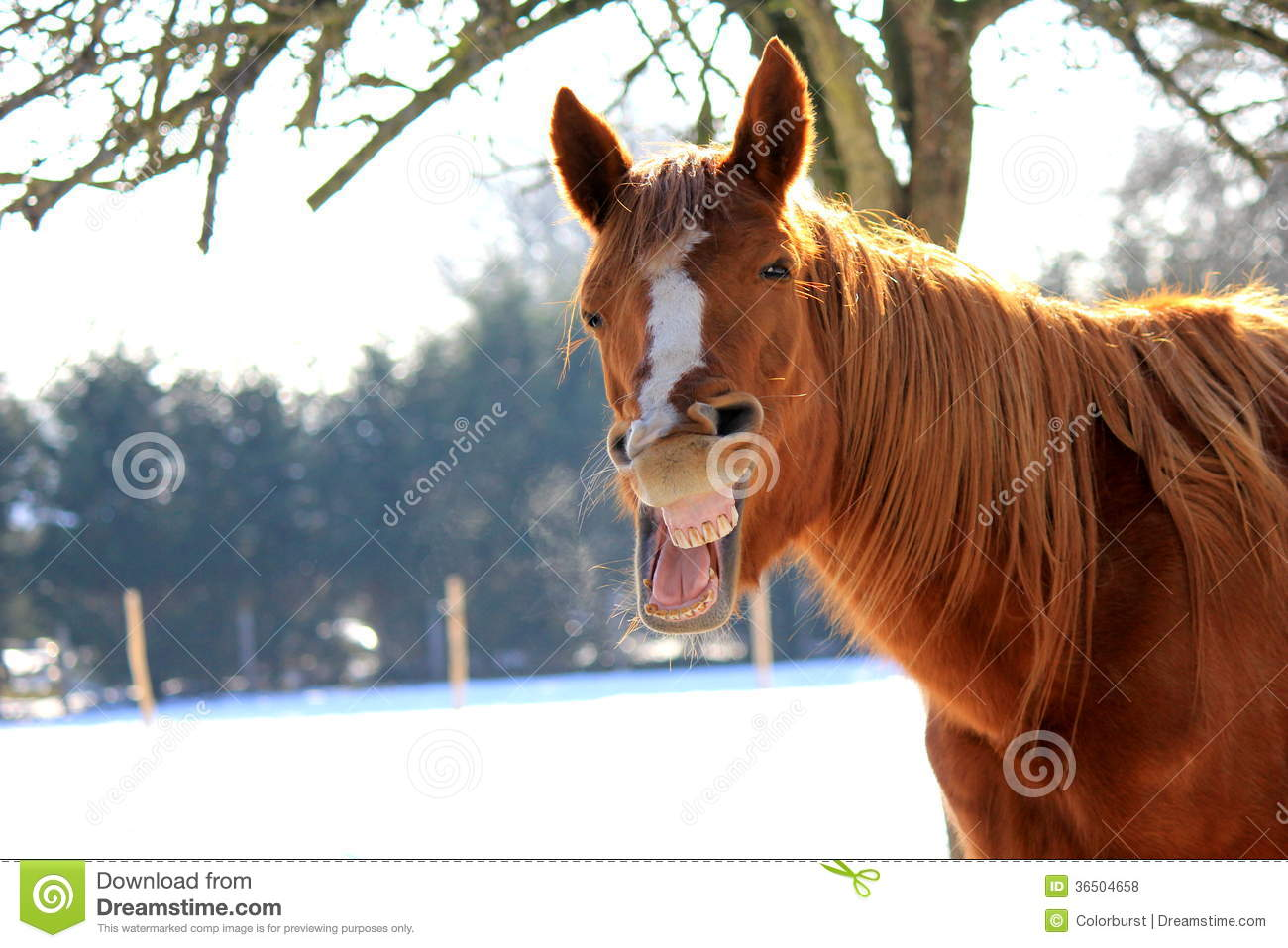 Funny Yawning Horse Royalty Free Stock Photos Image
