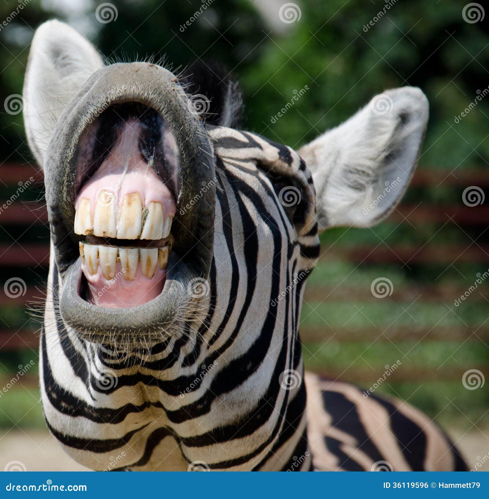 Zebra Teeth Funny Zebra Royalty Fr...