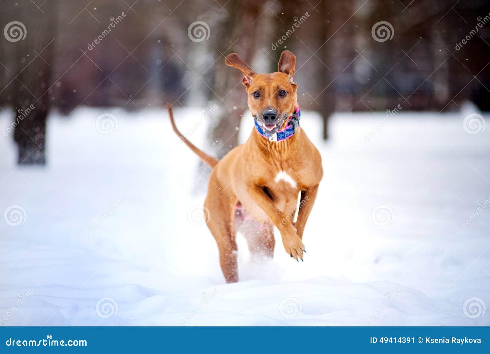 Funzionamento adorabile del cane di Rhodesian Ridgeback nell inverno