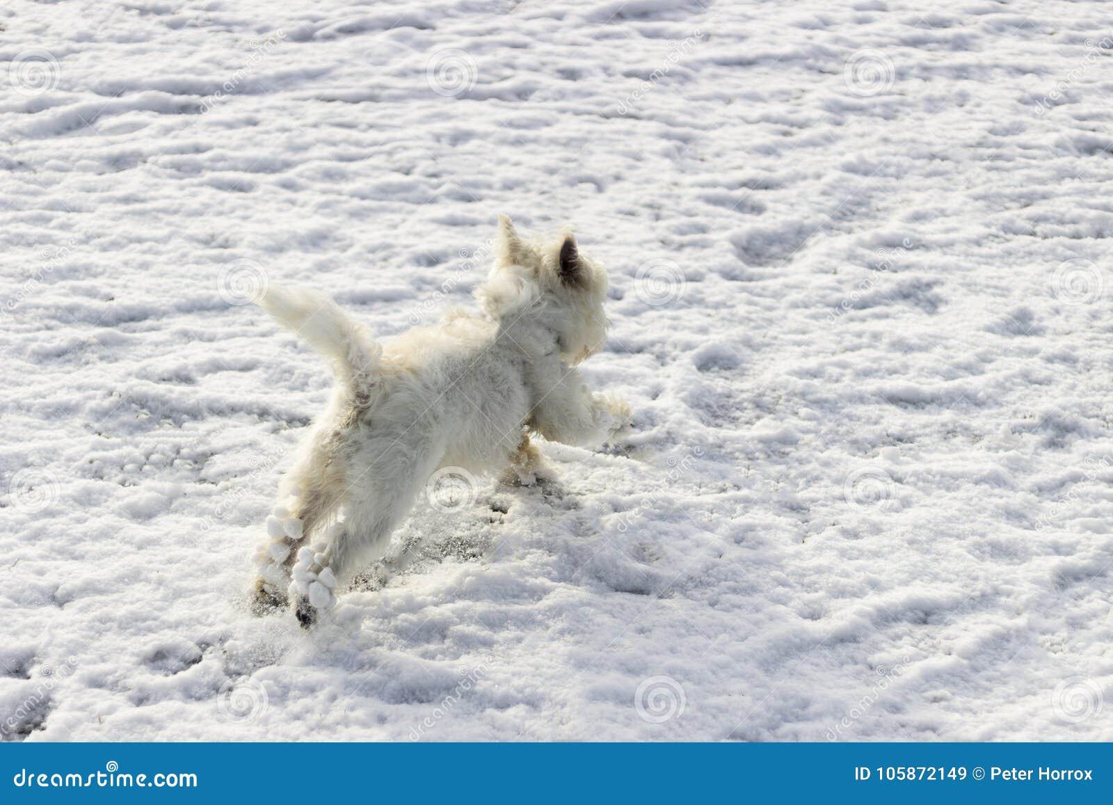 Funzionamento bianco del cane e saltare nella neve