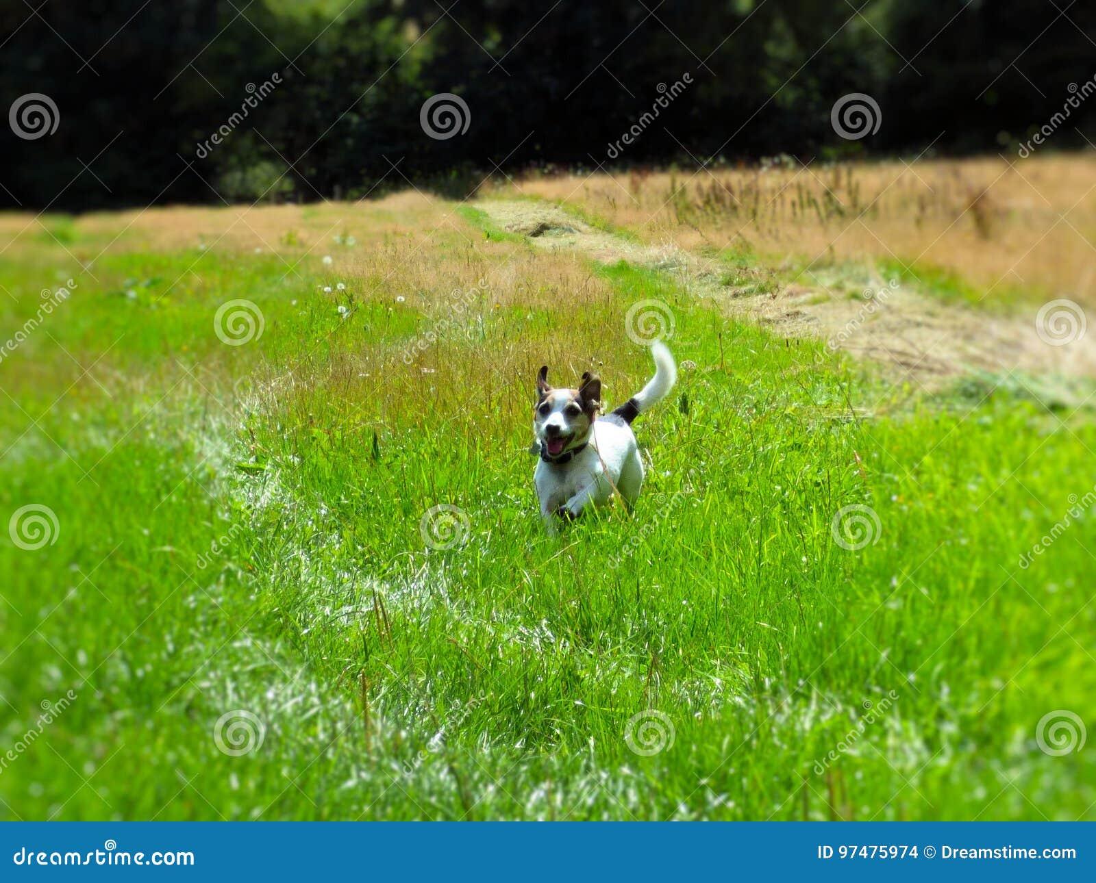 Funzionamento del campo del cane di Terrier