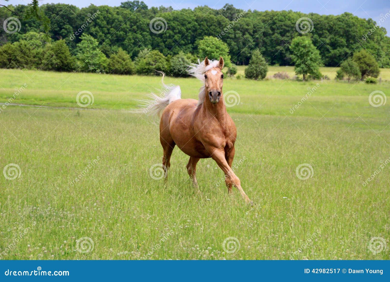 Funzionamento del cavallo del palomino