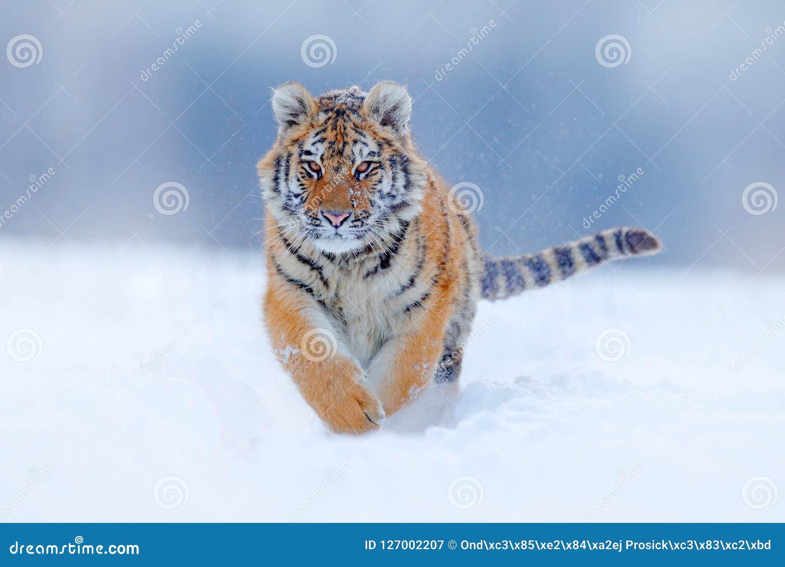 Funzionamento del fronte della tigre nella neve Tigre dell Amur in natura selvaggia di inverno Scena della fauna selvatica di azi