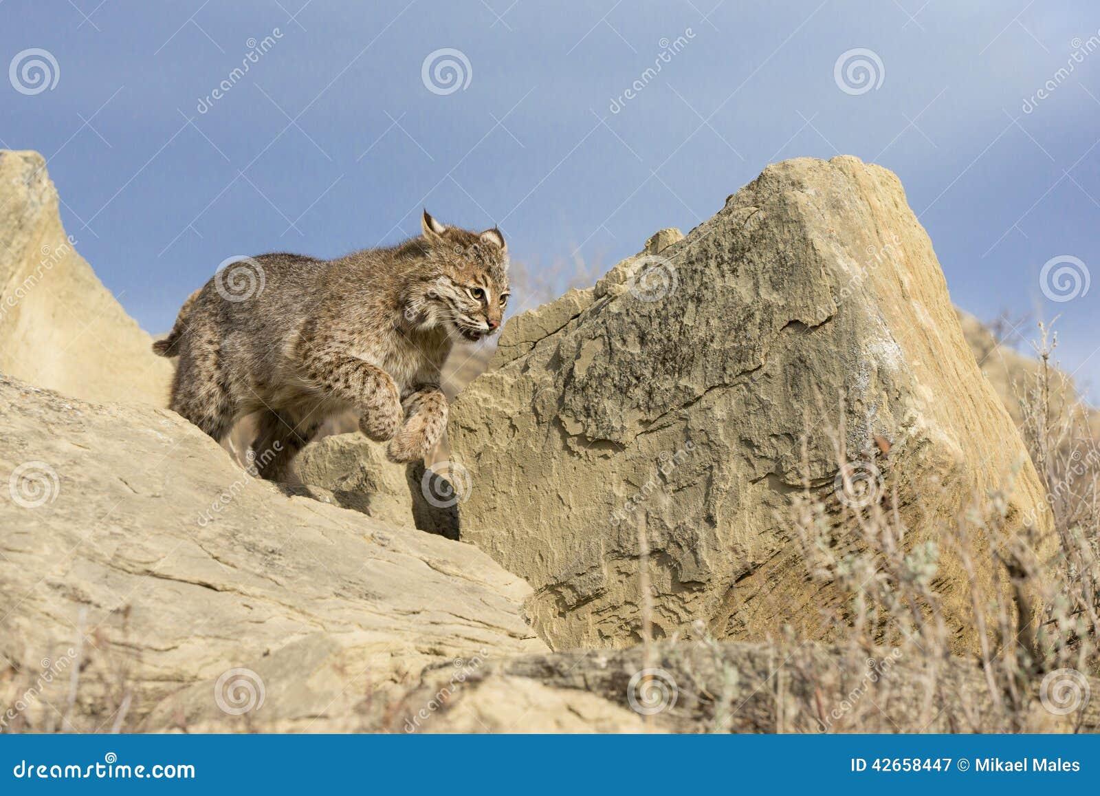 Funzionamento del gatto selvatico verso la preda
