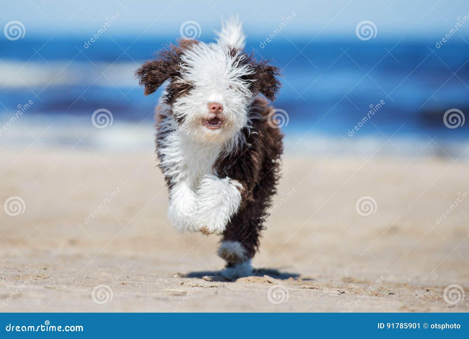 Funzionamento spagnolo del cucciolo del cane da caccia in palude su una spiaggia