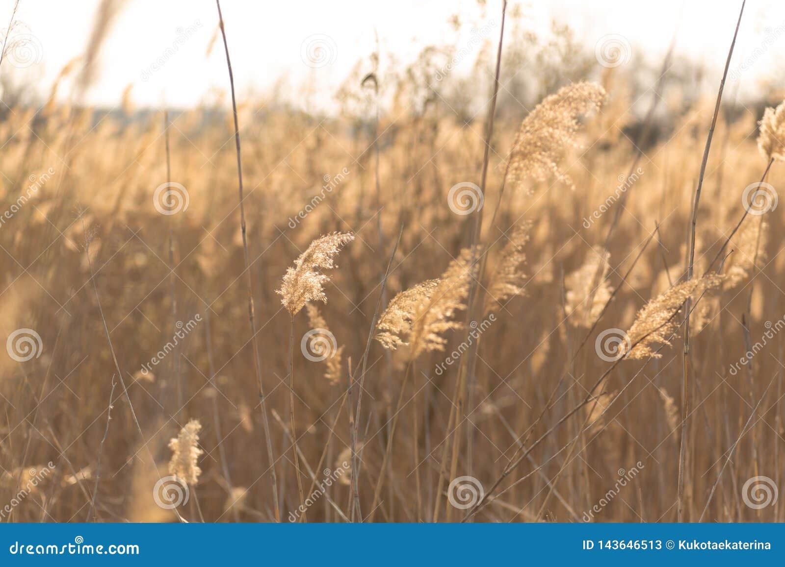 Fuoco molle dei gambi delle canne che soffiano nel vento alla luce dorata di tramonto Esponga al sole i raggi che splendono attra