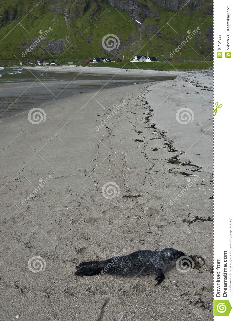 The Fur Seal On The Beach In Norway Stock Image - Image of