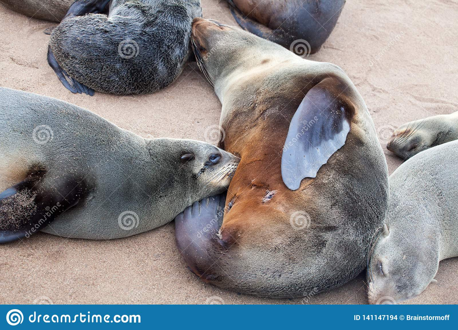 Fur seal mother feed her suckling baby close up, Colony of Eared Brown Fur Seals at Cape Cross,Namibia, South Africa